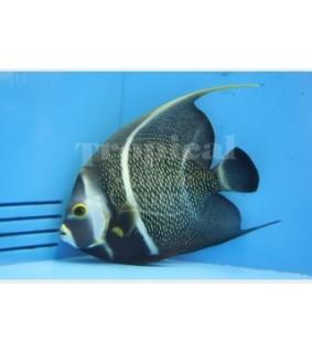 Pomacanthus paru , Kultakeisarikala , aikuisväritys