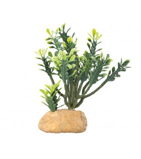 Hobby Euphorbia M / cactus species