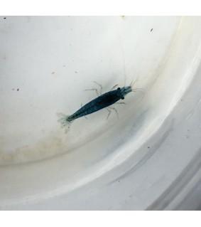 Neocaridina sp. Navy Blue - Neocaridina sp.