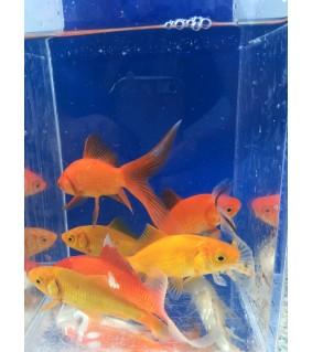 Kultakala mix värit 7-10 cm - Carassius auratus