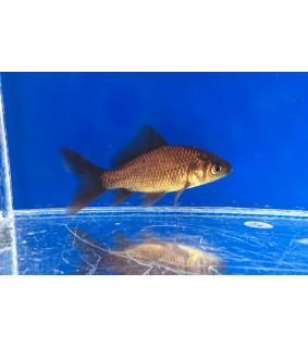 Kultakala musta - Carassius auratus