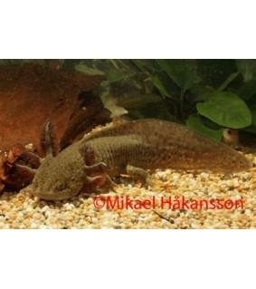 Aksolotli ruskea 10-15 cm