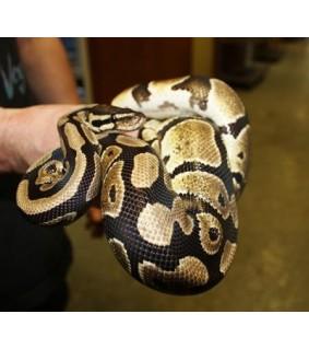 Python regius, aikuinen