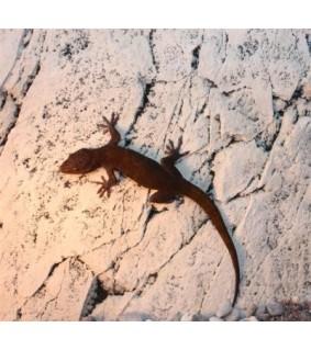 Gecko ulikovskii