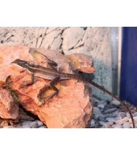 Basiliscus vittatus koko M-L