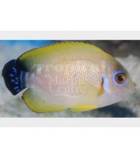 Centropyge cf flavissima , Keltaherttuakala hybridi