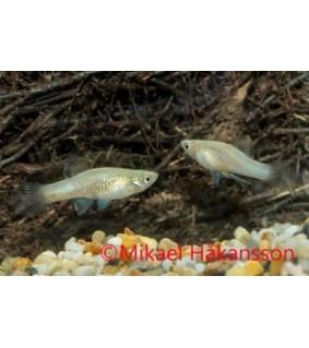 Phallichthys tico