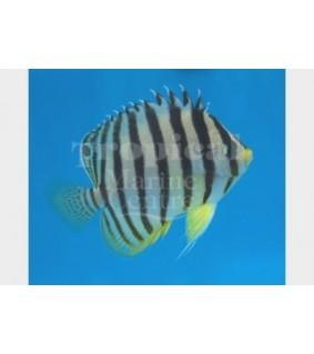 Paracentropyge multifasciata , Seepraherttuakala keltainen