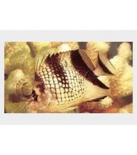 Chaetodon argentatus - Hopeaperhokala