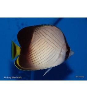 Chaetodon decussatus - Hämyperhokala