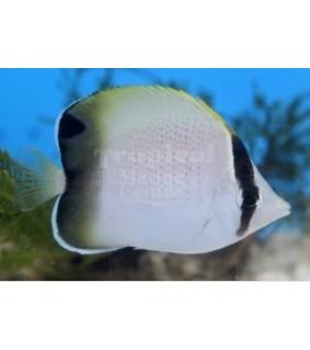 Chaetodon dolosus - Häiveperhokala