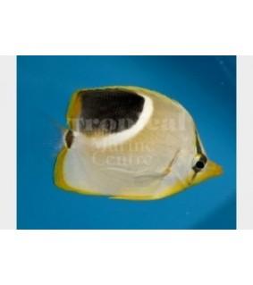 Chaetodon ephippium - Satulaperhokala