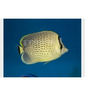 Chaetodon guttatissimus , Pippuriperhokala