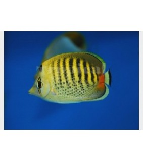 Chaetodon punctatofasciatus , Raitapisteperhokala