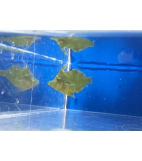 Acreichthys tomentosus - leväviilakala