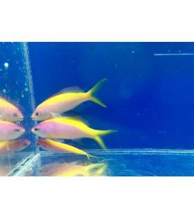 Pseudanthias evansi - Yellow Back Anthias