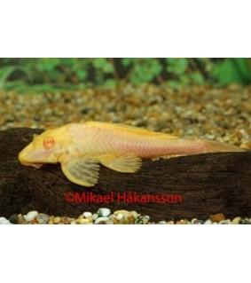Isopurjepleko - Glyptoperichthys gibbiceps albino