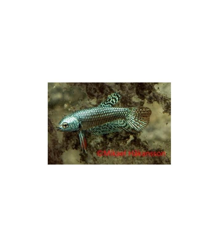 Beta sp. Alien green koiras - Betta sp.