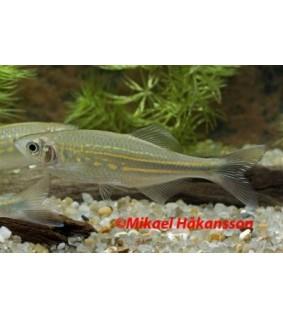 Turkoosiseeprakala - Devario aequipinnatus