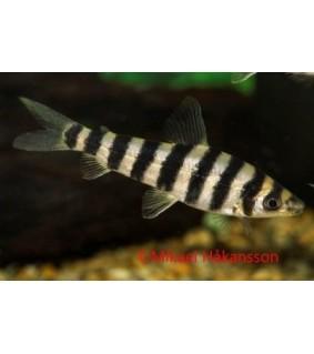 Tiikeriseisojatetra - Leporinus fasciatus