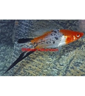 Miekkapyrstö koi tricolor - Xiphophorus helleri
