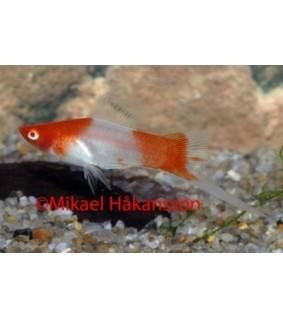 Miekkapyrstö Koi Kohaku - Xiphophorus helleri