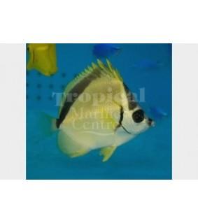Johnrandallia nigrirostris - Putsariperhokala