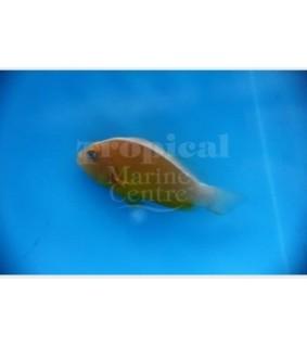 Amphiprion sandaracinos , Kaulusvuokkokala oranssi