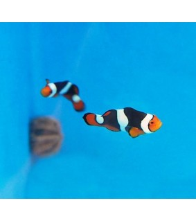 Amphiprion percula , Onyx