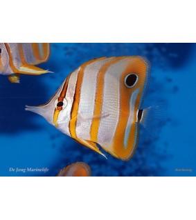 Chelmon rostratus - pinsettikala