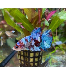 Taistelukala PKHM Galaxy Candy koiras - Betta sp
