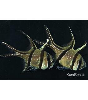Pterapogon kauderni S-koko kasvatettu