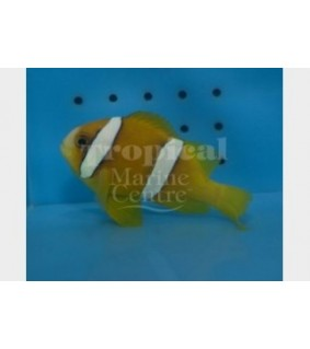 Amphiprion clarkii , Seepravuokkokala Coral Sea
