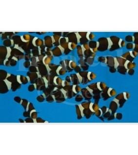 Amphiprion ocellaris - vuokkokala Black White - viljelty