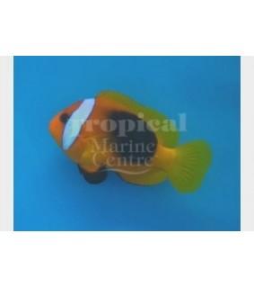 Amphiprion melanopus - Melanesia Fire Clownfish
