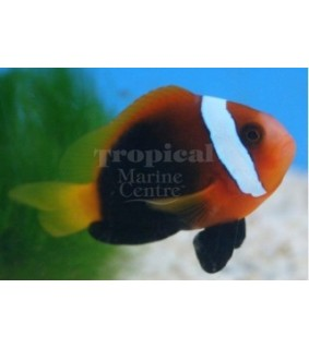 Amphiprion melanopus , Indo Fire Clownfish