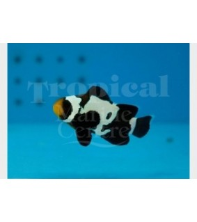 Amphiprion ocellaris , vuokkokala Black ice snowflake
