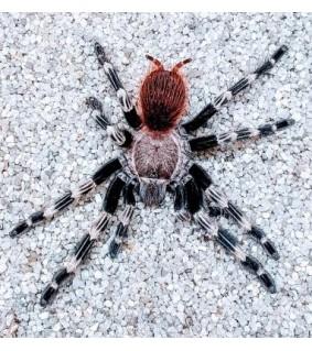Nhandu chromatussus