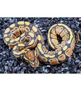 Python regius VANILLACB