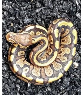 Python regius FIRE CB