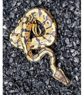 Python regius ENCHI FIRE CB
