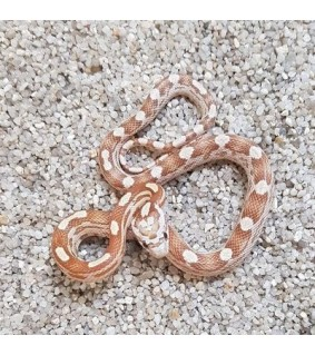 Pantherophis guttata GOULD DUSTMOTLEY BABY