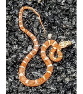 Pantherophis guttata DILUFE