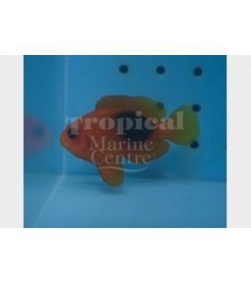 Amphiprion ephippium , Punainen satulavuokkokala
