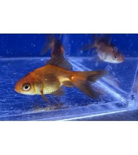 Kultakala fantail punamusta 3-5 cm - Carassius auratus