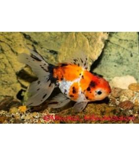 Kultakala fantail calico 10-12 cm - Carassius auratus