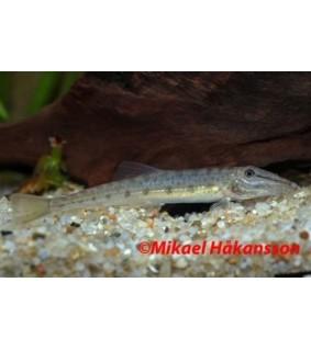 Kärsänuoliainen - Acanthopsis choirorhynchus