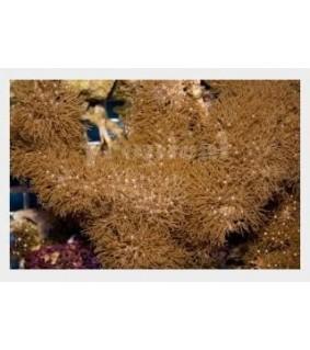 Briareum stechei - Xenia - Carpet