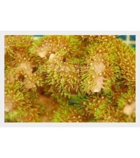 Briareum stechei - Xenia - Carpet Green