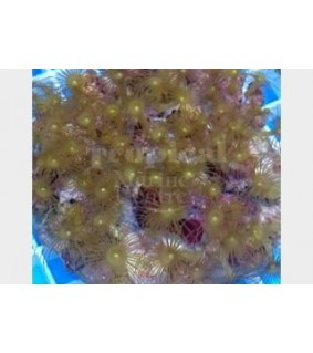 Parazoanthus spp. - Yellow Polyp - Cultured
